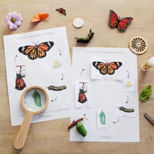 affiche cycle de vie du papillon Monarque
