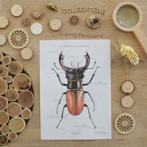 Affiches d'anatomie sur le thème du coléoptère