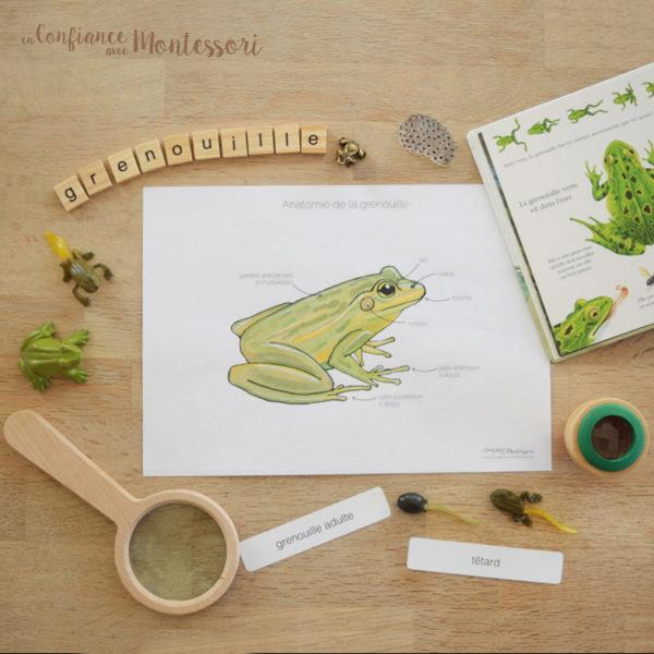 Affiche Anatomie de la grenouille
