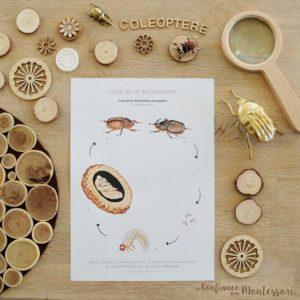 Affiches sur le cycle de vie du coléoptère