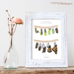 Affiche métamorphose papillon Monarque