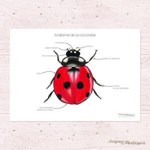 Affiche anatomie de la coccinelle