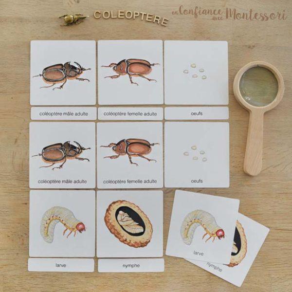 Images classifiées thème coléoptères