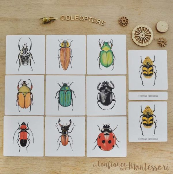 Images classifiées coléoptères