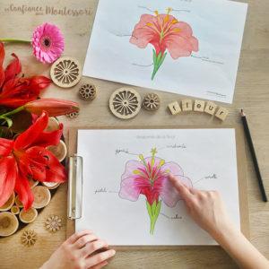 Affiche Anatomie de la fleur