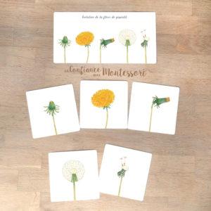 Cartes images séquentielles Montessori sur le pissenlit