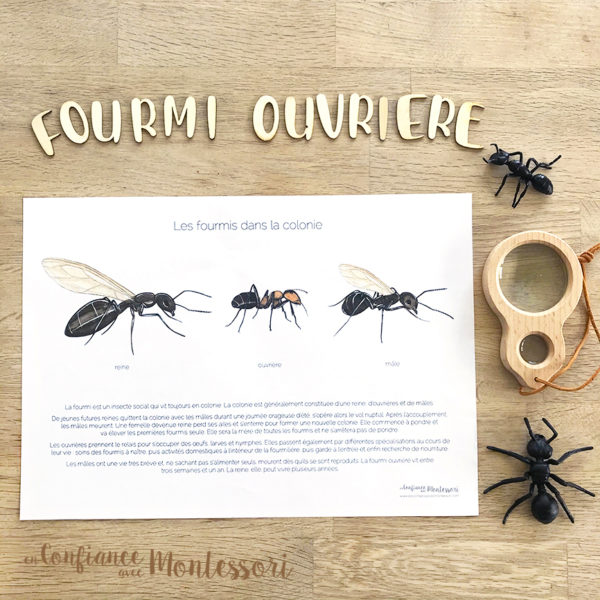 Affiche d'inspiration Montessori sur la fourmi ouvrière, la fourmi mâle et la reine