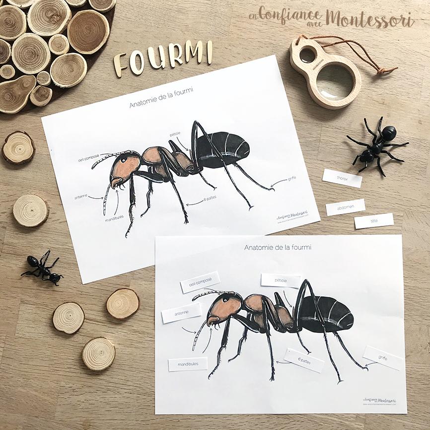 Affiches sur l'anatomie de la fourmi