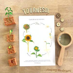 Affiche d'inspiration Montessori sur le cycle de vie du tournesol