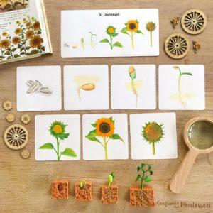 Cartes images séquentielles Montessori sur le tournesol